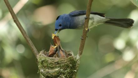 Close-up nature birds nest baby blue flycatchers flycatcher Wallpaper