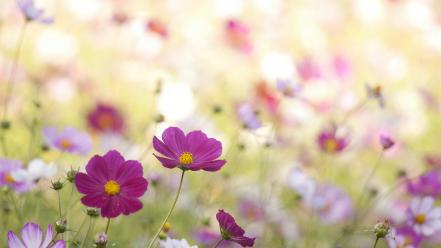 Nature flowers cosmos flower wallpaper