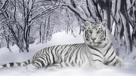 Snow animals tigers white tiger wallpaper