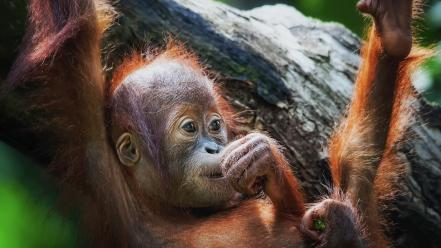 Monkeys baby animals orangutans wallpaper