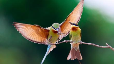 Nature bee eaters birds wallpaper