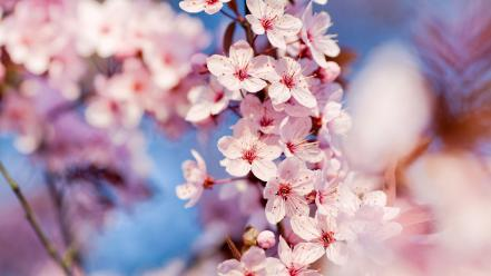 Nature cherry blossoms flowers blurred background Wallpaper