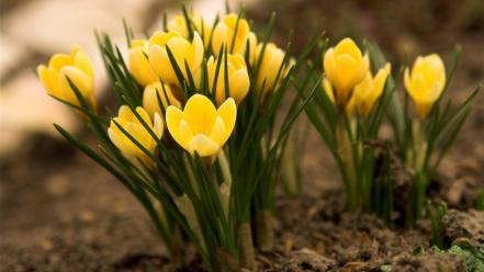 Flowers yellow crocus wallpaper