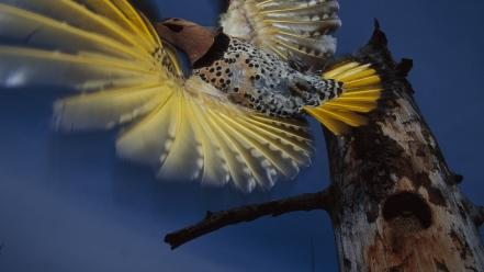 Alaska flight woodpecker wallpaper