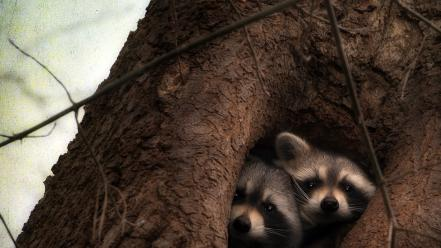 Animals raccoons tree trunk wallpaper