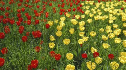 Flowers tulips yellow red wallpaper