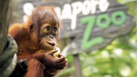 Animals baby orangutans wallpaper