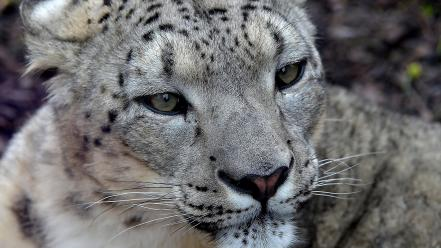Close-up animals snow leopards wallpaper