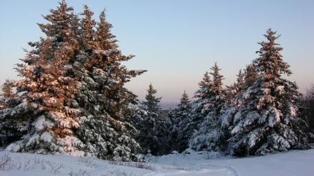 Winter snow landscapes pine trees wallpaper