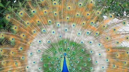 Birds feathers peacocks wallpaper