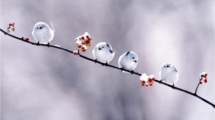 Birds long-tailed tit wallpaper