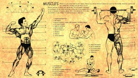 Anatomy human muscles bodybuilding scheme training body health Wallpaper