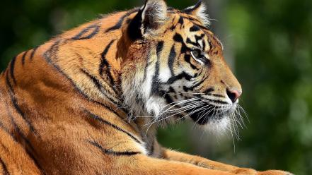 Artistic animals tigers bengal wild profile portraits wallpaper