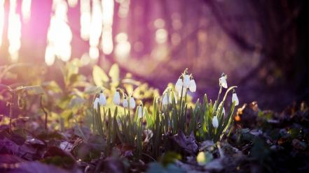Landscapes nature flowers wood snowdrops spring wallpaper