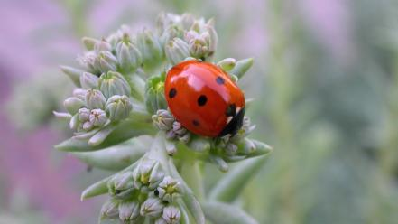 Animals insects ladybirds wallpaper