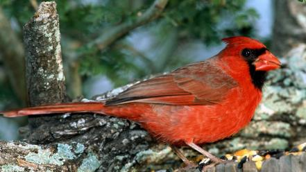 Nature northern cardinal birds wallpaper