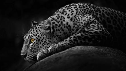 Black and white mod leopards leo wallpaper