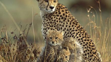 Animals cheetahs baby Wallpaper