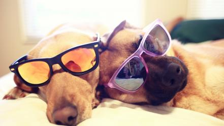 Animals dogs funny sunglasses sleeping Wallpaper