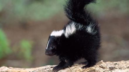 Nature animals skunks wallpaper