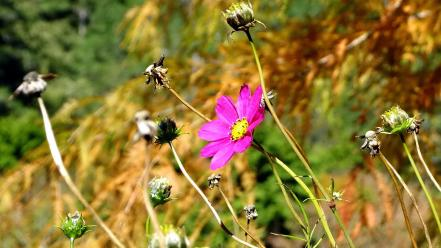 Nature autumn (season) flowers plants cosmos flower wallpaper
