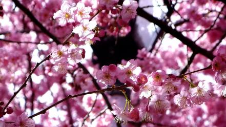 Nature cherry blossoms flowers spring branches pink wallpaper