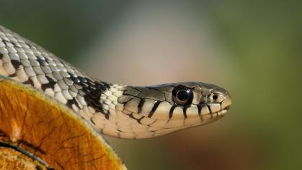 Nature eyes cobra animals snakes scales wallpaper