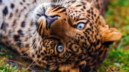Animals leopards wallpaper
