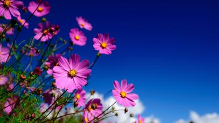 Flowers cosmos flower blue skies Wallpaper