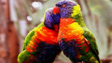 Love birds animals parrots Wallpaper