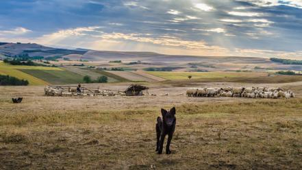 Sunset landscapes nature animals dogs fields herds wallpaper