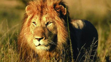 Animals feline africa lions wallpaper