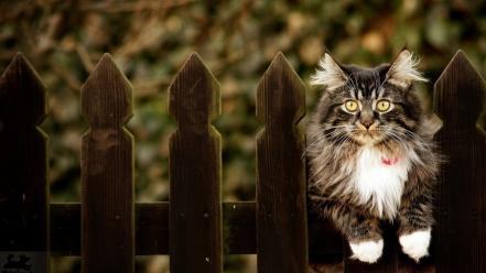 Fences cats animals yellow eyes depth of field wallpaper