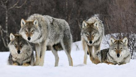 Gray Wolves Norway Wallpaper