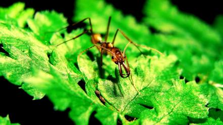 Insects ants macro hymenopthera odontomachus hastatus wallpaper