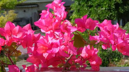 Nature flowers bougainvillea wallpaper