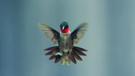 Animals birds hummingbirds Wallpaper