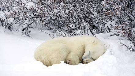 Animals nature polar bears sleeping snow Wallpaper