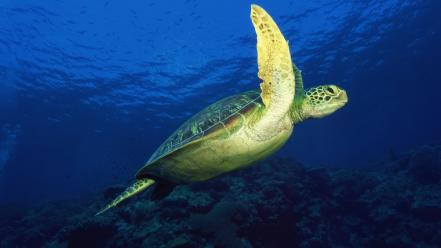 Animals turtles sea underwater wallpaper