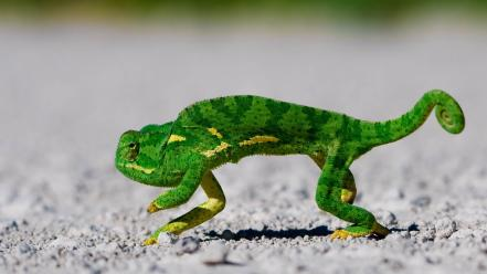 Green animals chameleons reptiles wallpaper