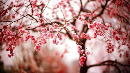 Trees blossoms wallpaper