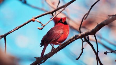 Birds cardinal northern wallpaper