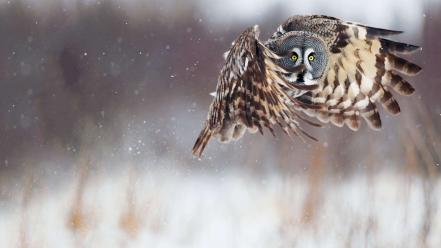 Snow birds animals owls flight wallpaper