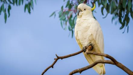 White cockatoo bird wallpaper