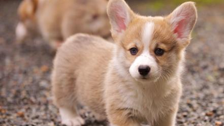 Animals dogs puppies corgi welsh Wallpaper
