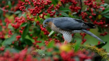 Birds animals falcon bird depth of field wallpaper