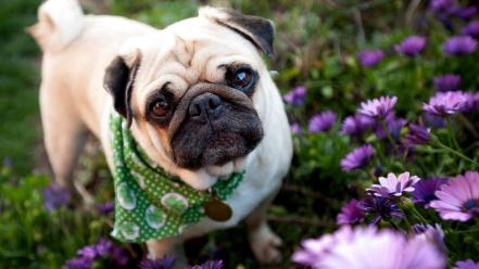 Flowers animals dogs pug wallpaper