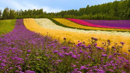 Flowers fields wallpaper