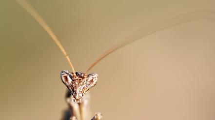 Insects mantis macro wallpaper