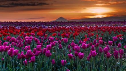 Landscapes nature red flowers hills tulips skies wallpaper